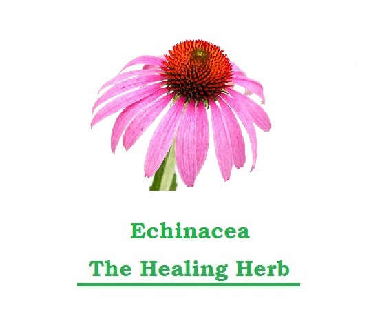 Just Eat Veggies ECHINACEA The Healing Herbs